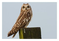 Asio flammeus - Short-eared Owl (Marc Nollet) Tags: bird birds photography vogels owl vogel asio shortearedowl asioflammeus shorteared natuurfotografie uitkerksepolder uitkerksepolders uitkerke hiboudesmarais waww nollet vogelfotografie velduil nfbo