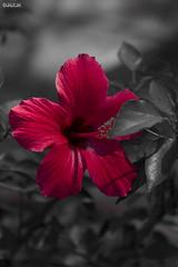 Hibiscus rosa-sinensis (D.M.C.M ) Tags: flower fleur asia hana asie  southkorea jeju botanicalgarden daehanminguk selectivecolor jardinbotanique   ajia kankoku  coredusud canon60d  hibiscusrosa dmcm couleurslective hibiscusrosedechine kkoch