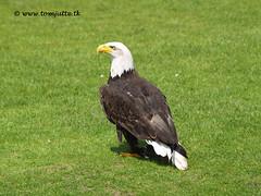 Bald Eagle, Burgers Zoo, Arnhem, Netherlands - 0939