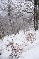 Invierno en el parque de Redes (elosoenpersona) Tags: parque winter snow nature forest de natural nieve reserve asturias invierno cordillera haya redes reserva fagus hayas snowed sylvatica cantabrica hayedo braagallones elosoenpersona