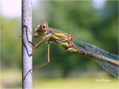 Pole dancer (Nadine V.) Tags: macro bug lumix ngc panasonic npc crop nophotoshop damselfly waterjuffer odonate fz38 panasonicdmcfz38 fz35 dmcfz35 dmcfz38