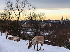 Not The Typical City Animals - Reindeers (Maria_Globetrotter) Tags: winter sunset snow beautiful animals night canon wonderful point reindeer evening vinter perfect colorful view sweden stockholm schweden over swedish an ren backdrop sverige svj perfekt sn utsikt vder sucia estocolmo rentier stoccolma scandinavian suecia reindeers overview djurgrden zweden solnedgng svenska djur sude tukholma stermalm renar strandvgen  svezia juxta  szwecja ruotsi rentiere isve 1585     tsualainn in    thy stokholmo thyin  holmia   antsulainn mariaglobetrotter
