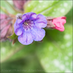 Pulmonaria (*ian*) Tags: red flower macro green nature closeup square leaf spring flora purple pistil petal stamen bloom spotted bud pollen favourite stigma springtime anther pulmonaria lungwort bigemrg