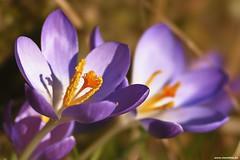 Two more crocuses (Vlachbild) Tags: flowers spring crocus daily sonystf135mmf28t45 sonyslta65