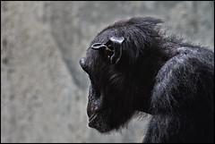_SG_2012_7507_1_IMG_1708 (_SG_) Tags: animals canon lens eos zoo schweiz switzerland tiere is suisse chimp basel 7d cheetah chimpanzee usm bale chita ef tier cheeta basle zolli 70300 schimpanse basler zoli zoobasel objektiv cheta llens ef70300 70300l baslerzolli f456l baslerzoo zooli eos7d canoneos7d canon7d baslerzooli lobjektiv baslerzoli ef70300f456lisusm