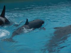 Kalia4 (GypsySkye7) Tags: sandiego orca seaworld killerwhale captivity kalia oneocean kasatka