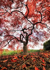 Amazing Fall Colors at the National Arboretum (` Toshio ') Tags: autumn red orange color fall leaves washingtondc dc washington colorful branches perspective arboretum trunk nationalarboretum toshio japenesemaple