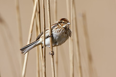 Reed Bunting (Glen Crowe) Tags: reed birds canon suffolk wildlife bunting