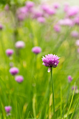 Chive Blossoms (mclcbooks) Tags: flowers garden blossoms blooms