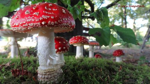 Fly Argaric Mushrooms family, Zeist, Netherlands - 0923