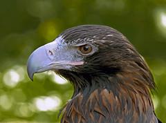 Sea-eagle Seeadler (pe_ha45) Tags: seaeagle whitetailedeagle seeadler haliaeetusalbicilla pygarguequeueblanche grandaigledemer guilamarina aiglebarbu pigaroeuropeo