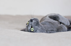 Green eyes (idni . idniama) Tags: animals cat 50mm grey nikon greeneyes gato rest gettyimages 2013 idni gettyimagesiberiaq3