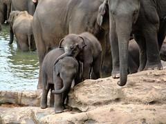 Coccole. (Luc1659) Tags: ngc npc srilanka cuddles coccole elefanti ruby3 piccoli mygearandme mygearandmepremium mygearandmebronze mygearandmesilver vigilantphotographersunite vpu2 vpu3 vpu4