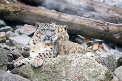 Julika (Cloudtail the Snow Leopard) Tags: snow cat mammal zoo kitten jung leopard bigcat katze karlsruhe panthera nachwuchs raubkatze schneeleopard julika sugetier irbis uncia groskatze