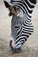 Zebra (Carolinagmendes) Tags: portugal animal de zoo lisboa stripes selva zebra riscas