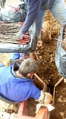 0025VIÑEDOS-plantar-injertos-(22-3-2013)-P1020028 (fotoisiegas) Tags: viticultura viñas viñedos cariñena plantar injertos fotoisiegas lospajeras