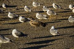 Long Island (Bravo213) Tags: seagulls beach gull cy longislandnewyork challengeyouwinner thechallengefactory