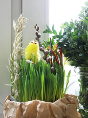 happy easter! (underwater_thing) Tags: green easter box oat boxwood buxus wielkanoc ziele owies stroik kurczaczek bukszpan