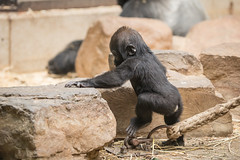 2016-07-19-16h29m55.BL7R1190 (A.J. Haverkamp) Tags: canonef100400mmf4556lisiiusmlens amsterdam zoo dierentuin httpwwwartisnl artis thenetherlands gorilla shae pobamsterdamthenetherlands dob21012016