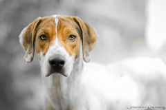 Cooper (Dizmang Photography) Tags: dog dogs mutt colorado hound denver hounddog dogphotography petportrait coloradoportraits petphotography dogportrait denverpetphotography coloradopetphotography