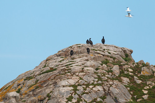 Grands Cormorans (Phalacrocorax carbo)