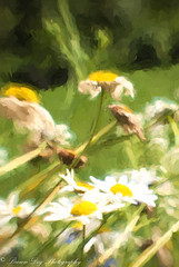 Nature is the art of God. - Dante Alighieri (Kitsanne) Tags: nikon d80 lensbaby composerpro plasticoptic fieldofdaisies windblown wildflowers yellow white dead living topaz impression