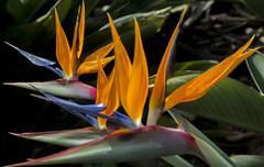 Birds of paradise in my garden (PriscillaBurcher) Tags: crane birdofparadise reginae avedelparaso flowerstrelitzia l1060314