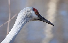 Sandhill Crane (careth@2012) Tags: bird closeup headshot nature wildlife beak sandhillcrane