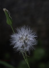 a little one (Tok Ki, an idiot with cameras. (1.5 mil viewers)) Tags: tiny tokki pungut macro minute plant pollen hairy