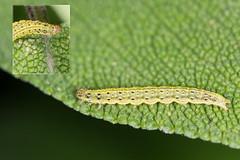 Mint Moth Caterpillar (DavidHowarthUK) Tags: garden colchester essex july 2016 mintmoth pyraustaaurata caterpillar larvae