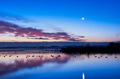 Morning to return to the north. (K16mix) Tags: japan izunuma miyagi kurihara nature wildlife wildgoose wildbird moon eaafp earthshine lake water swan ramsarconvention animal cloud sky