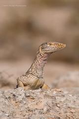 Monitor Lizard (Asaru Kariyil Photography) Tags: irkaya irkya irkayafarm monitorlizard lizard summer summerclick qatar qatarmammals qatarwidelif dohaqatar mammal mammals