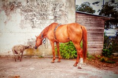 Romo et Juliette, version La Fontaine.... (Isabelle Gallay) Tags: animals animal animaux sheep mouton horse cheval nature aquitaine gironde pessac extrieur exterior