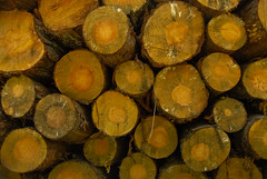 Logs and Logs (Jamesylittle) Tags: logs forest wood chainsaw chop fire rings oak pine