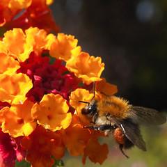 Bee2 (kristin.mockenhaupt) Tags: nature natur wiese meadow frhling sommer summer spring springtime flower blume biene beemakro macro