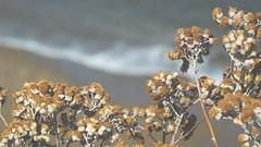 maybe the water's high (Nob') Tags: nob france frech coast nature flowers sea side seaside cap bretagne brittanny bokeh boekehbeyond waves beach sun sunny summer road trip roastrip hike hiking musically hills travel voyage mer atlantique atlantic