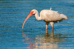 Just Wading Around (ac4photos.) Tags: ibis nature wildlife animal bird florida wetlands naturephotography wildlifephotography birdphotography animalphotography nikon d300s tamron ac4photos ac