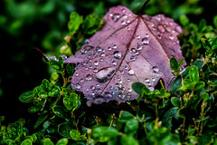 Leave's, in Tree's. (Omygodtom) Tags: macromonday macro raindrop waterdrops leaf outdoors weather abstract art autumn storm sep natural nature nikon d7100 tamron90mm texture dof digital diamond golden flickr