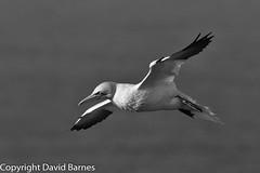 Gannet (Wild About.......) Tags: 1d4 birds british fauna flightshot gannet morusbassanus nature naturephotography rspbbemptoncliffs uk unitedkingdom wildlife yorkshire blackandwhite bw