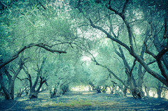 Olive Grove at Sunrise (robin-loo) Tags: orchard olive tress sunrise dawn crete greece chania nikon nikond5100 hss sliderssunday