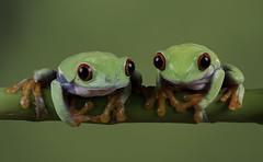 Double trouble (Val Saxby LRPS) Tags: agalychniscallidryas captivelight fall frogs macro pets redeye redeyetreefrog treefrog wildlife winter amphibians animals nature studio