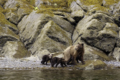 Female Coastal Grizzly Bear with cubs (Alan Vernon.) Tags: brown bear coastal ursus arctos horribilis mature female sow mother cubs young immature first year grass sedge sedges eat eating nature wildlife wild mammal american bears omnivore predator shore