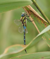 Mirgrant Hawker Dragonfly (andyt1701) Tags: jersey dragonfly
