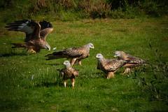 Red Kites (Si Moore.) Tags: redkite milvusmilvus birdofprey hunter carrion birdsinflight bwlchnantyrarian nrw ceredigion wales birds fuji xseries xt2 xf100400mm 14x teleconverter simoore 2016