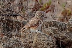 Little owl (Dave 5533) Tags: owl littleowl bird birdofprey wild nature canon7dmk2 sigmasport150600mm naturephotography