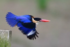 Black-capped Kingfisher (Jeffreycfy) Tags: kingfisher blackcappedkingfisher bif bird wildlife nikond500 nikkor200500mmf56 nature