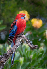 Crimson Rosella in Rain 1 (caralan393) Tags: birds rosella rain crimson red
