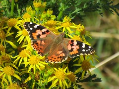 Painted wings (JulieK (finally moved to Wexford)) Tags: paintedladybutterfly butterfly insect flora fauna ragwort canonixus170 pollination beautifulnature wexford bokeh wings hww wingwednesday macro