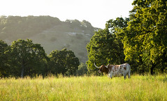 Longhorn at Sunrise (Gareth Koonz) Tags: texas hill country fredericksburg sunrise morning