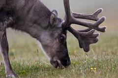 Svalbard Reindeer at Alkepynten S24A0966 (grebberg) Tags: alkepynten alkhornet spitsbergen svalbard july 2016 rangifer rangifertarandusplatyrhynchus reindeer mammal svalbardreindeer rangifertarandus